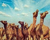 Vintage retro hipster style travel image of camels at Pushkar Mela (Pushkar Camel Fair) with grunge texture overlaid. Pushkar, Rajasthan, India