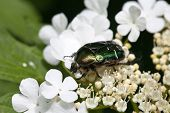Beetle on the flowers in the spring