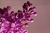 Purple Lilac closeup