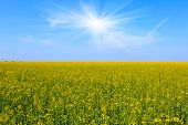 Yellow field under blue sky