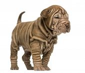 Shar Pei puppy standing, isolated on white