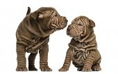 Shar Pei puppies sniffing each other, isolated on white
