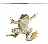 Edible Frog viewed from below swimming up, under water line, Pelophylax kl. esculentus, isolated on
