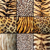 stock photo of ocelot  - collection of wild cats fur tigers leopards and ocelot - JPG