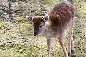 Fallow Deer Calf