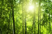 stock photo of bamboo forest  - Asian Bamboo forest with morning sunlight from back - JPG
