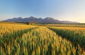 Summer Wheat Field In Slovakia, Tatras.