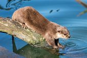 Asian Small-clawed Otter On A Log