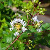 Lagerstroemia Speciosa White Flower.