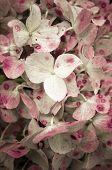 Hydrangea Hortensis Inflorescence