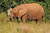 Young Elephant, Addo Elephant National Park, South Africa