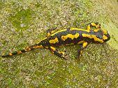 A Yellow And Black Salamander