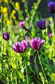 Closed Up Violet Opium Flowers.