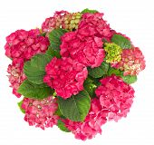 Beautiful Fresh Hortensia Flowers Bouquet