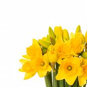 Closeup Of Fresh Spring Narcissus Flowers