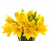 Closeup Of Narcissus Flowers Isolated On White