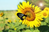 Beautiful sunflower with butterfly in field