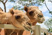 Camels