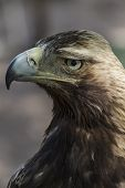 raptor, eagle brown plumage and pointed beak