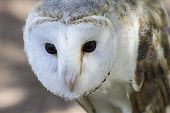 pic of hedwig  - White - JPG