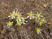 The first flowers. Pasque-flower (Pulsatilla)