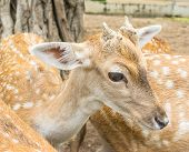 Young White Tail Deer In Field