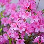 Beautiful Pink Azalea Flowers