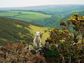 Little Lamb In Exmoor Valley, England