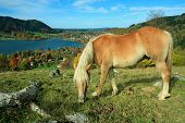 Shetland Pony And Lake View To Schliersee Health Resort