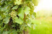 Macro photo of white wine grapes, low depth of focus