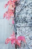 Red Ivy Parthenocissus Quinquefolia