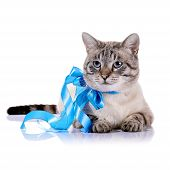 Striped Blue-eyed Cat With A Blue Tape.