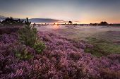 image of ling  - sunrise over flowering pink heather in summer - JPG