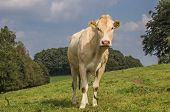 French Cow Blonde D Aquitaine In A Dutch Landscape