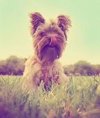 a cute yorkshire terrier sitting in the grass licking his mouth toned with a retro vintage instagra