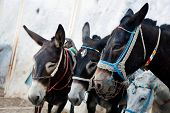 Donkeys in Fira on the Santorini island, Greece. They are a local symbol and take people, tourists to the port down the cliff.