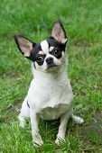 Cute Chihuahua Sits On Grass