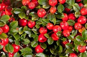 twing of cotoneaster with red fruit macro