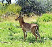 Impala Gazelle