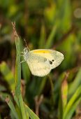 stock photo of dainty  - Tiny Dainty Sulphur butterfly - JPG