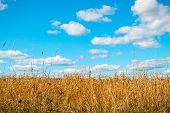 Golden oat field over blue sky and some clouds