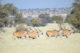 stock photo of eland  - Eland in a grass field Northern Cape Province South Africa - JPG