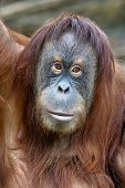 Closeup Portrait Of An Orangutan Female.