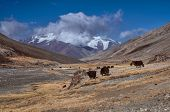 stock photo of yaks  - Herd of yaks high in scenic Pamir mountains in Tajikistan - JPG