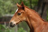 foto of chestnut horse  - Chestnut cute horse foal portrait in summer outside - JPG