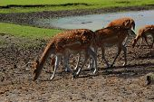 stock photo of deer family  - four female Sika deer with cub walking