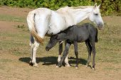 stock photo of pastures  - Breastfeeding colt in summertime pasture Foal with a mare on a summer pasture - JPG