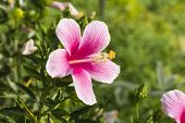 Chinese hibiscus, China rose, Hawaiian hibiscus or shoe flower