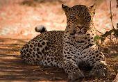 leopard arrogance