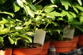 Shefflera Plants In Garden Center